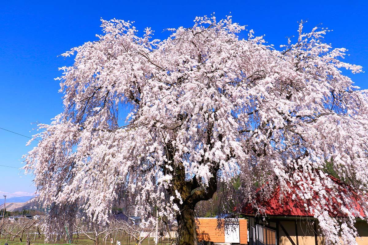 中塩の枝垂れ桜